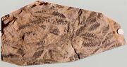 Zwęglone liście paproci na powierzchni warstwy mułowców z Sołtykowa (średnica monety 1,5 cm)