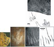 Tropy dinozaurów drapieżnych (teropodów) w Sołtykowie: z lewej – trop dylofozaura, w środku – trop wielkiego teropoda w tej samej skali, z lewej – fotografie i rysunek przedstawiające ślady pływającego teropoda, prawdopodobnie dylofozaura (zadrapania o dno pazurami trzech palców obu stóp), skala powiększona. Prawdopodobnie tym pływającym dinozaurem był dylofozaur